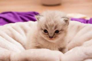 Kelebihan kucing persia yang tidak diketahui orang