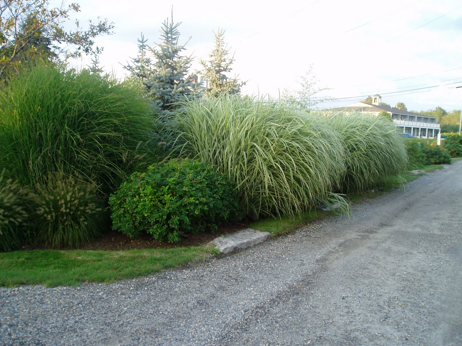 lovegrass farm miscanthus sinensis 39 gracillimus. Black Bedroom Furniture Sets. Home Design Ideas