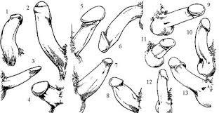 forme e tipi di pene maschile