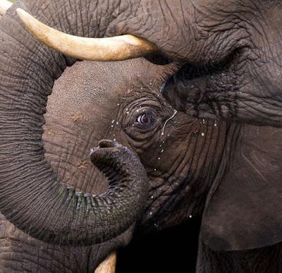 Слоненя з мамою