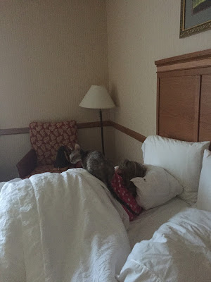 Coco the Couture Cat in bed at the Hampton Inn, Cornish Rex