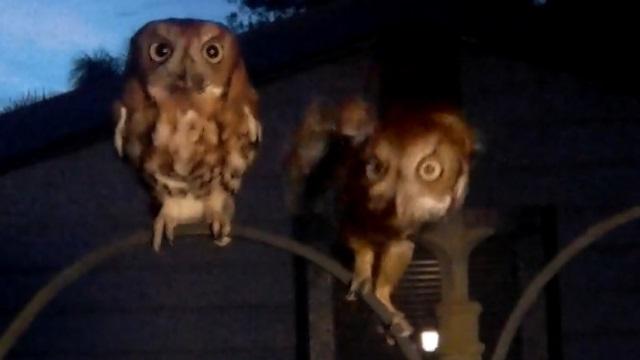 Screech Owl Parents - Silent Wings