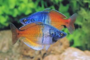 Dunia Ikan Hias - Boeseman's Rainbowfish