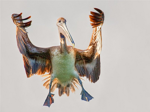 Interesting Pictures Funny: All Funny,Cute,Cool And Amazing Animals: Funny Pelican