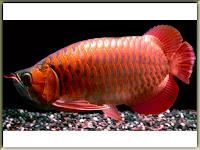 Arowana Fish Pictures