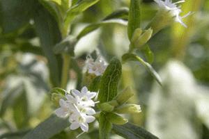 Aspecto de las hojas y flores de la estevia (Stevia rebaudiana)