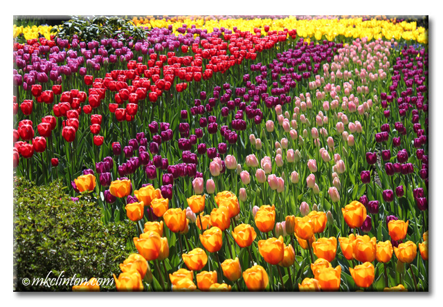 Such a variety of tulip colors at the Skagit Valley Tulip Festval