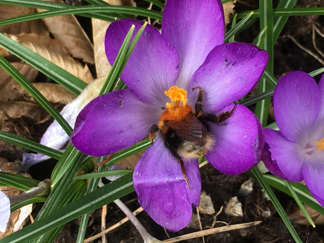 Endelig kom blomsterløkene i jorda. Krokus har jeg en del av fra før. Furulunden.