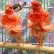 Burung kenari f1, Makanan burung kenari, Harga burung kenari
