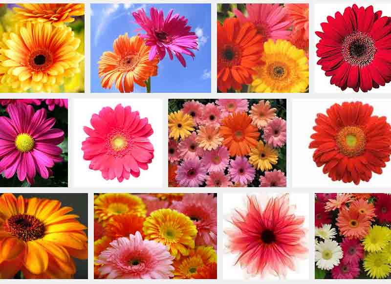 Gerbera Flower Bengali Meaning Types Of Flowers In Romantic Relationships