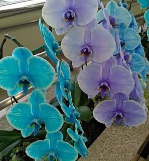胡蝶蘭 花言葉 幸福の飛来
