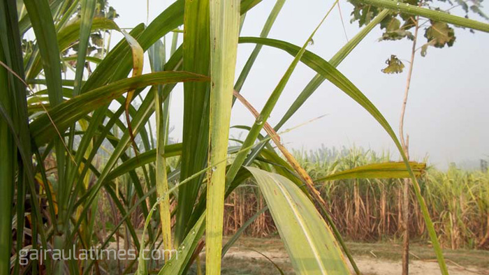 sugar-cane-plant-in-the-field