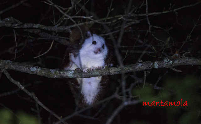 Red & White Giant Flying Squirrel
