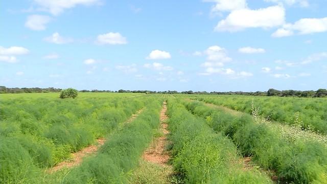 Comum em regiões frias, aspargo é produzido há 10 anos no semiárido potiguar