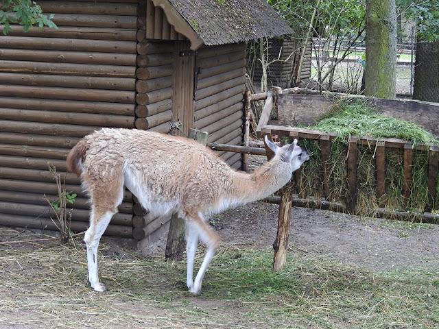 gwanako należy do lam i mieszka w zoo w Nowym Tomyślu