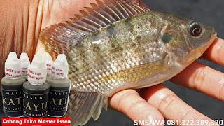 Umpan Untuk Ikan Nila Harian Master Essen Katilayu