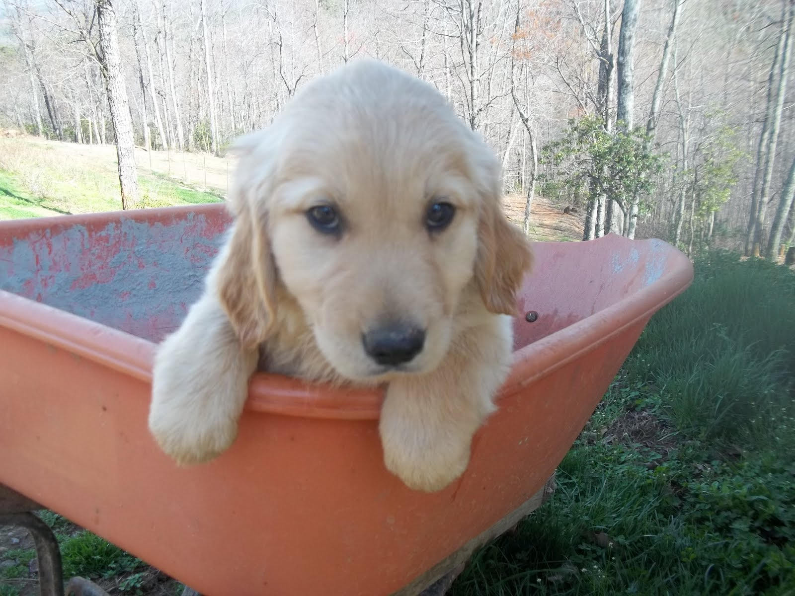 Golden Retriever Puppies FOR SALE: March 2012
