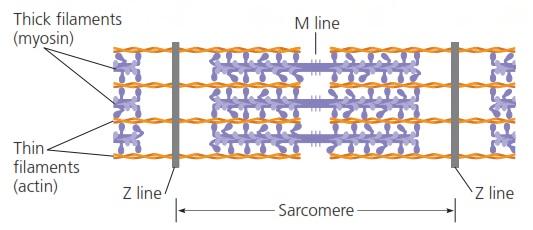 Mekanisme kontraksi otot info pendidikan dan biologi sebelum sampai pada penjelasan sliding filament model perhatikanlah bagian sarkomer di bawah ini filamen tebal digambarkan dengan garis tebal biru ccuart Choice Image