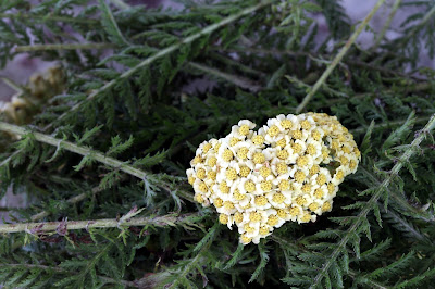 Yarrow leaves and flower-head.
