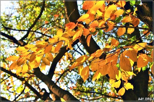 những chiếc lá vàng tháng 9