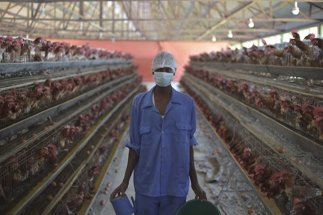 LAYER CAGE POULTRY FARM KI SET-UP KAISE KARE