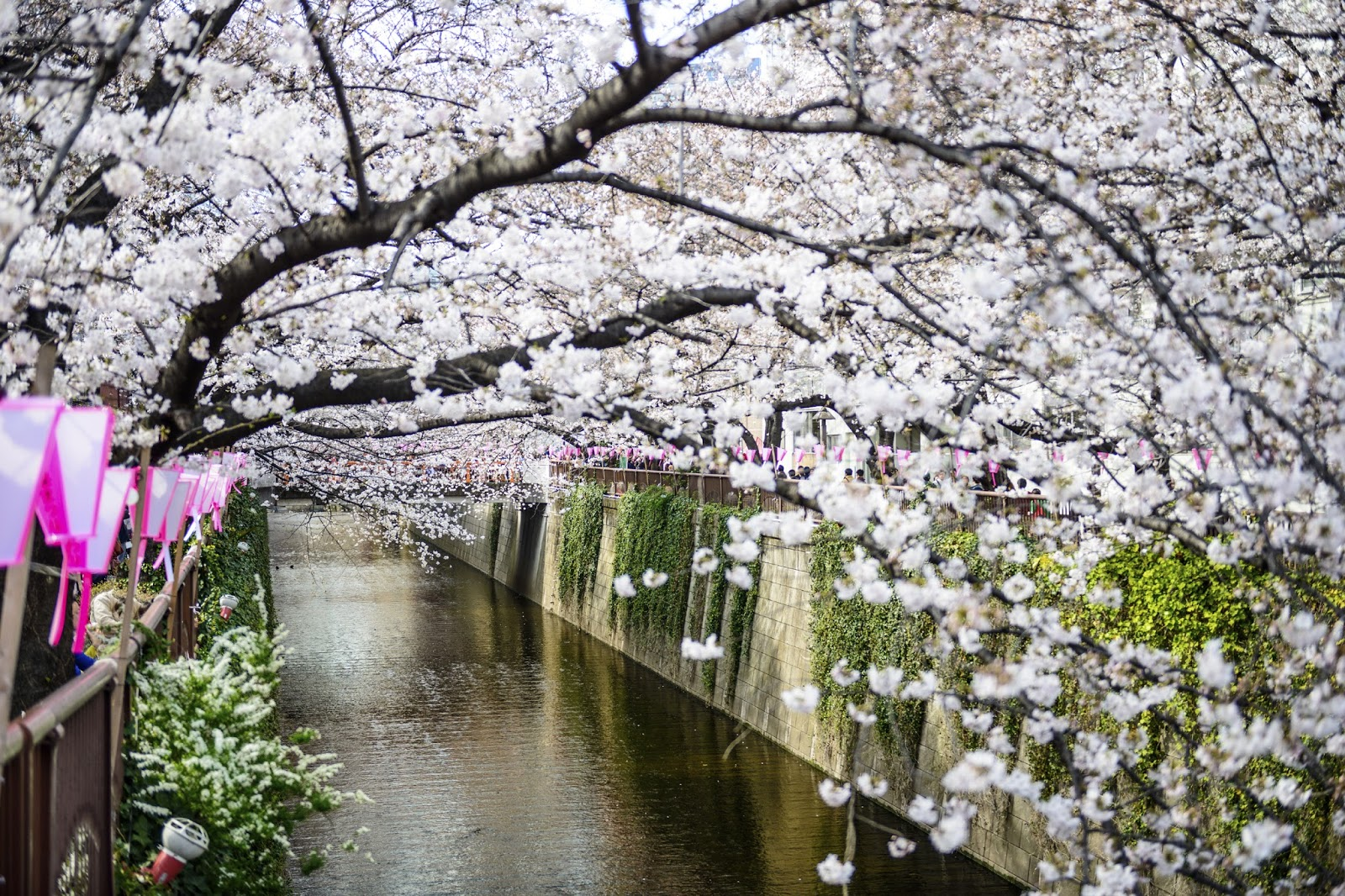 Japan Australia: See the Cherry Blossoms in Japan with a ...