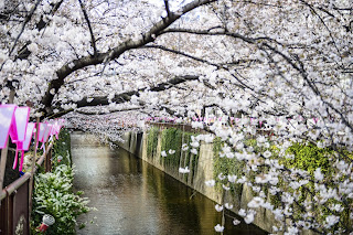 Cherry Blossoms and Canal in Kyoto