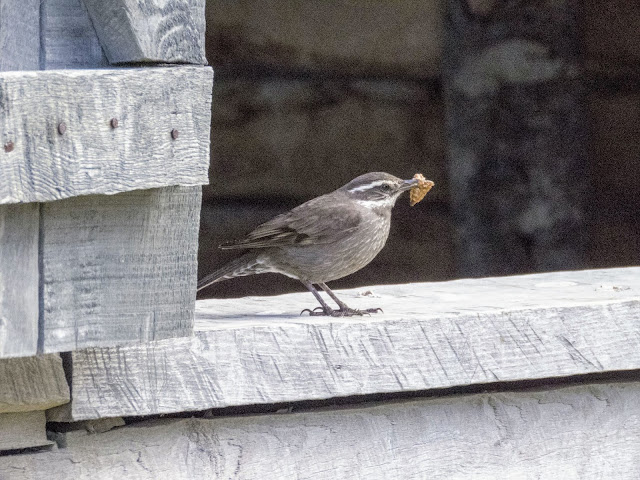 Little bird with food in its mouth at Fort Bulnes near Punta Arenas Chile