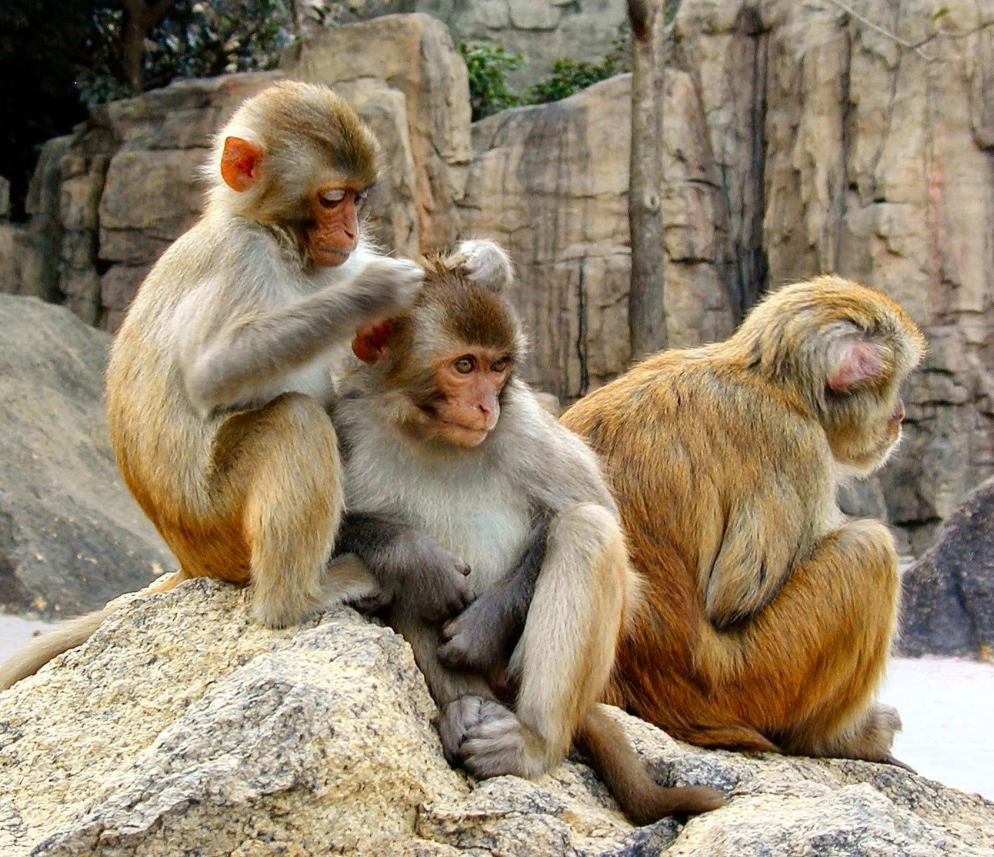 Hasil gambar untuk monyet cari perhatian