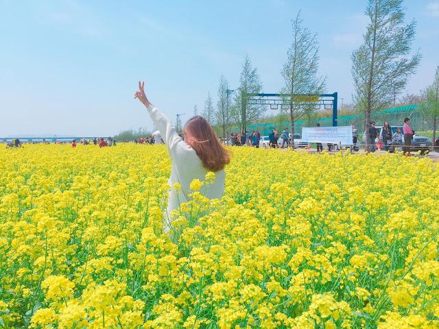 lễ hội hoa cải tại Busan Hàn Quốc