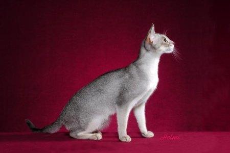 Blue Silver Abyssinian Cat