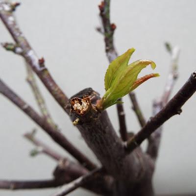 野梅の芽生え