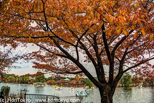 a cherry tree by Shinobazu pond, Ueno park, Tokyo. the tree has autumn leaves. small boats are on the pond.