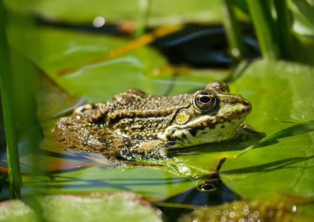 ঠান্ডা রক্তের প্রাণী,frog,water