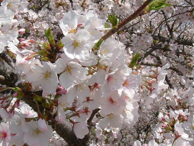 Gambar Bunga Sakura Jepang Imgurl