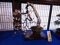 大阪天満宮・大盆梅展(盆梅と盆石展) 八重野梅