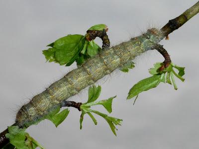 Poecilocampa populi caterpillar