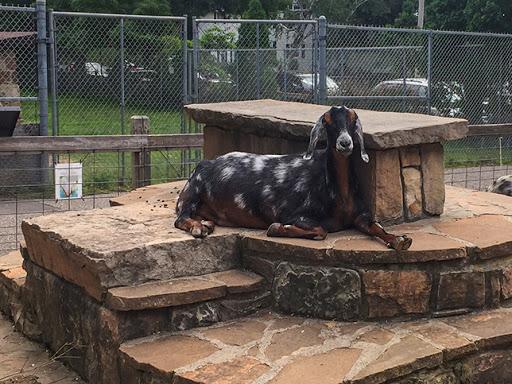 Goat at Ochsner Park Zoo in Baraboo WI