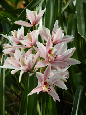 Cymbidium insigne Sweetheart at the Allan Gardens Conservatory by garden muses-not another Toronto gardening blog
