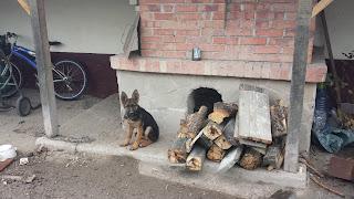 Young, Guard Dog, Yambol,