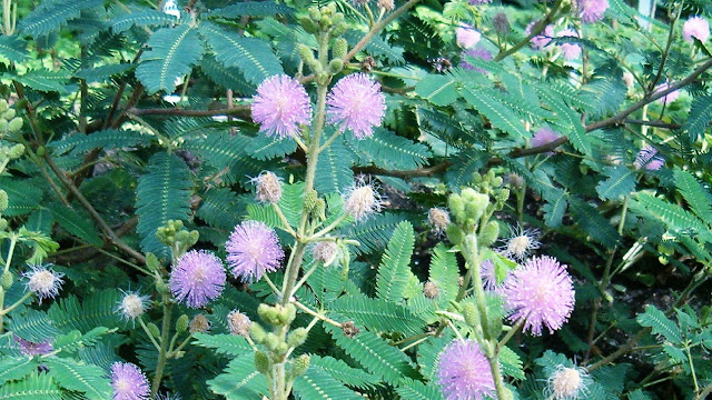 Mimosa Pudica Health Benefits