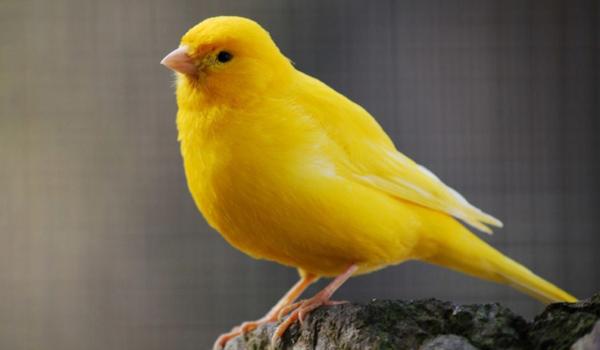 Burung kenari bisu