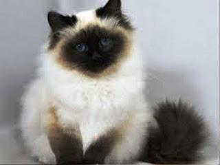 Gambar Kucing Persia Lucu 100011
