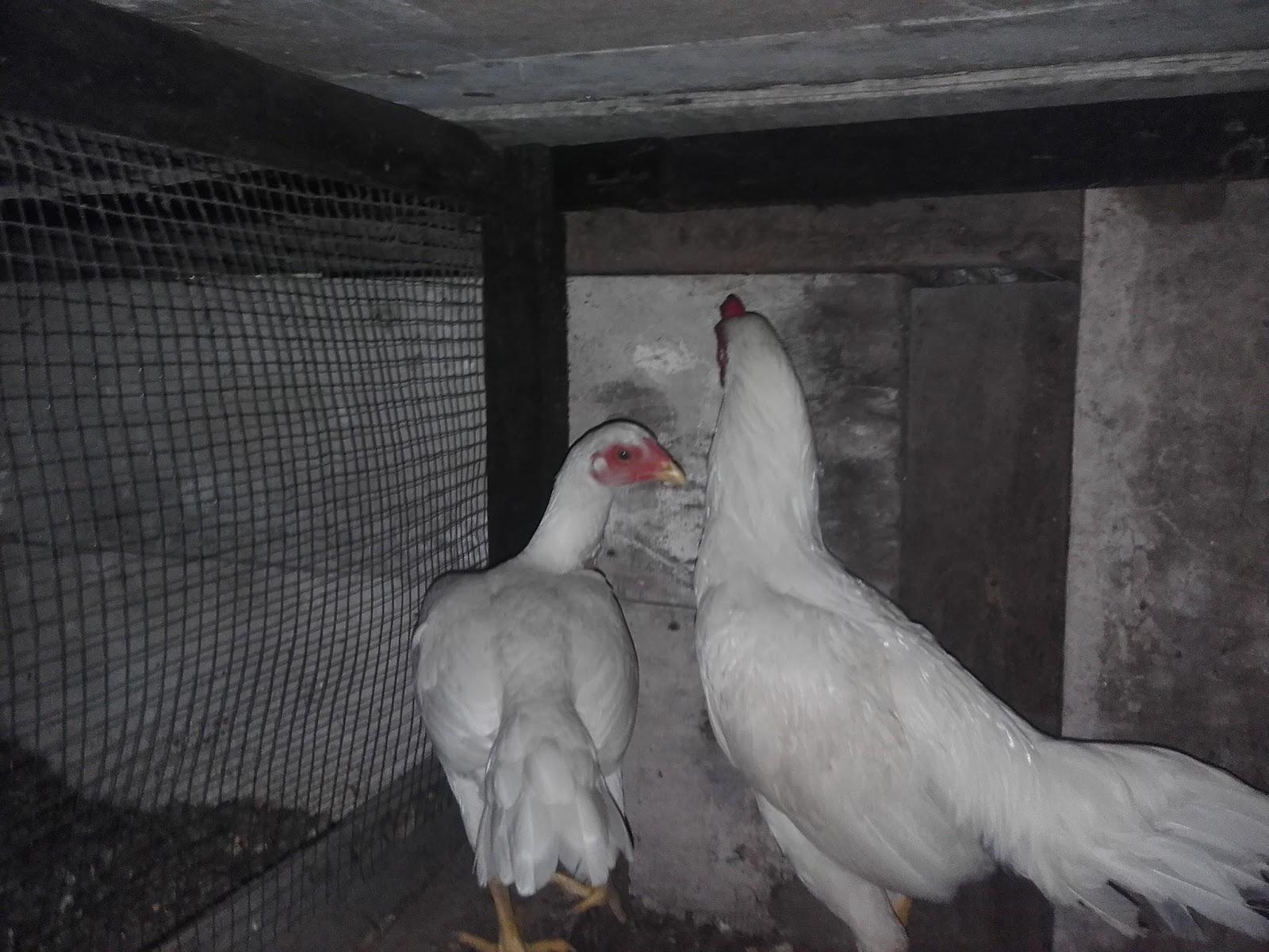 My Pets Asil Game Fowl