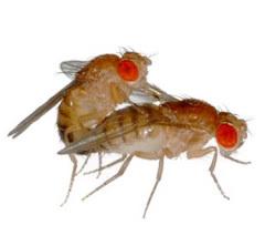 Accoppiamento rituale complessa pure tra insetti