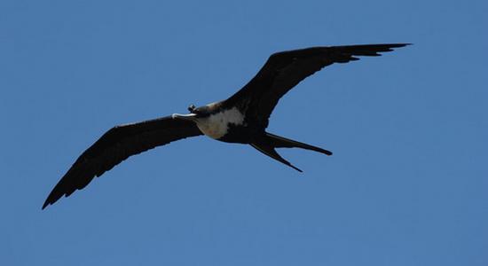 Burung Frigate Memang Bisa Tidur di Tengah Penerbangan Tanpa Jatuh