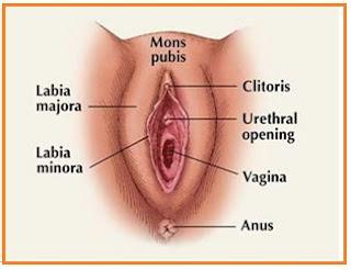 Gambar organ reproduksi wanita bagian luar