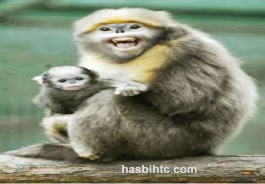 Monyet Hidung Pesek