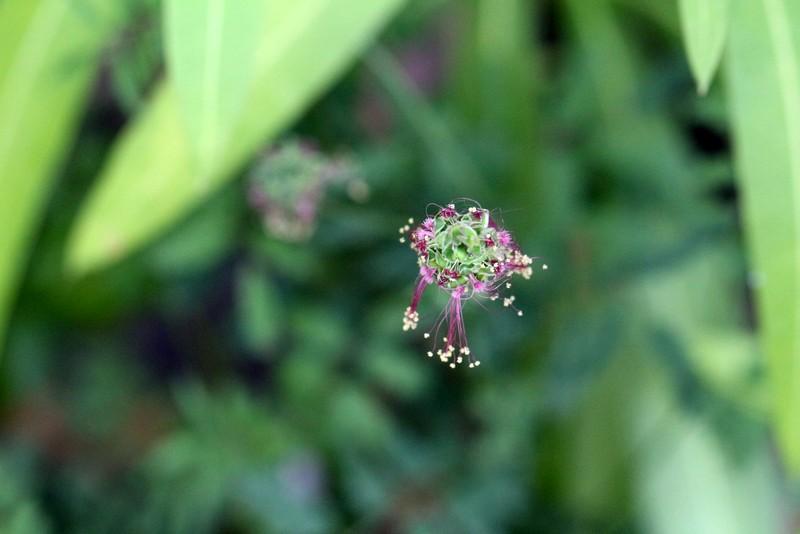 Blüte vom Kleinen Wiesenknopf, auch bekannt als Pimpernelle | Arthurs Tochter Kocht by Astrid Paul