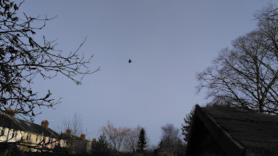 Crow flying in the blue sky of February 29th